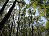 Džiūstantys uosiai skatina miško pardavimą